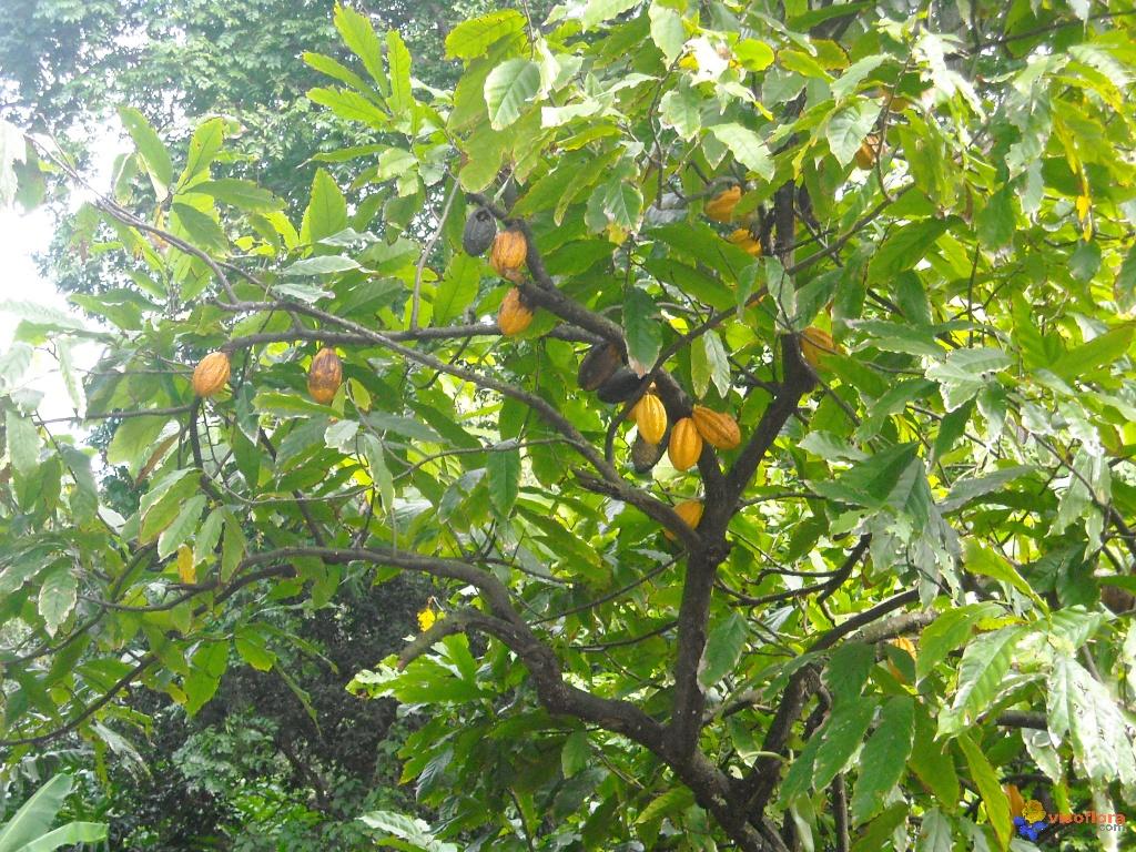 Le cacao broie du noir