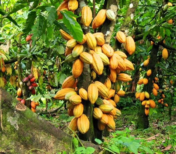 Côte d'Ivoire : Les Etats-Unis sèment la  «MOCA»dans la cacao culture