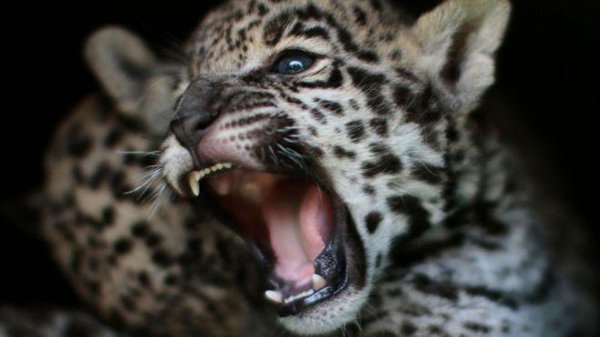 Elle tente un selfie avec un jaguar et manque de perdre une main