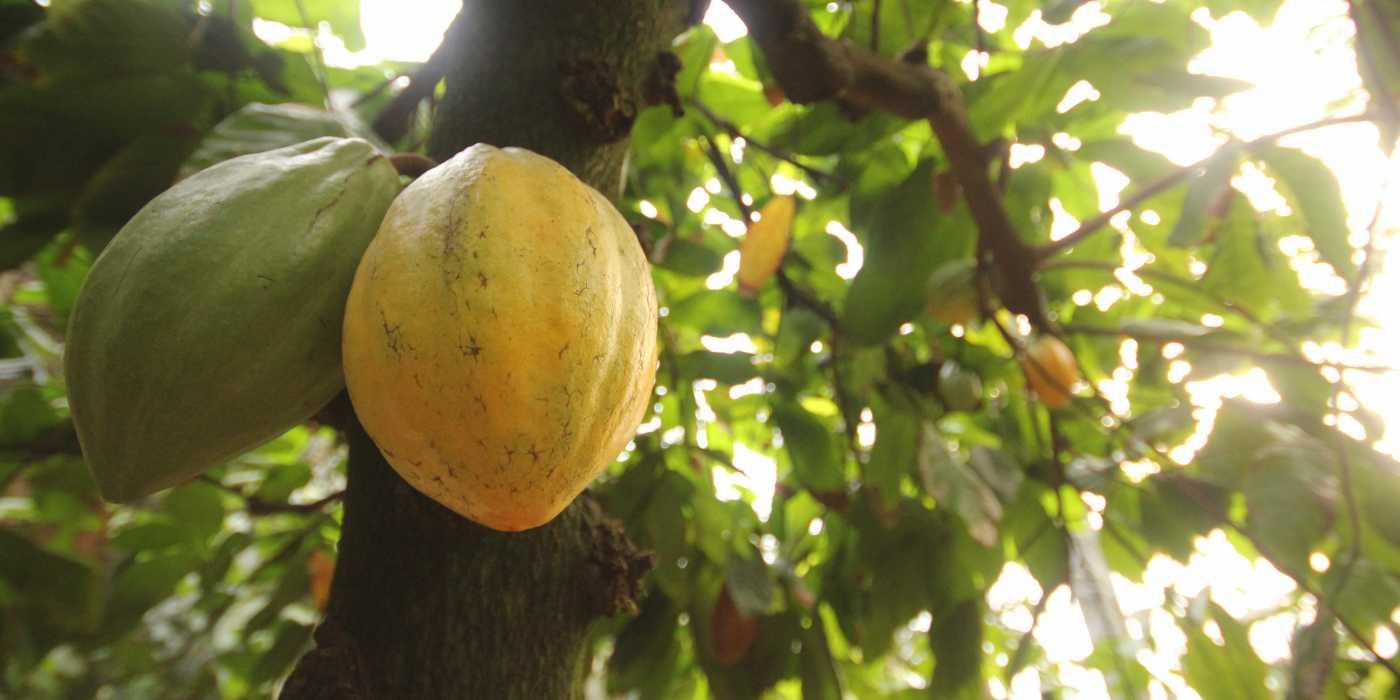 Les producteurs latino-américains reflechissent à un prix minimum pour le cacao