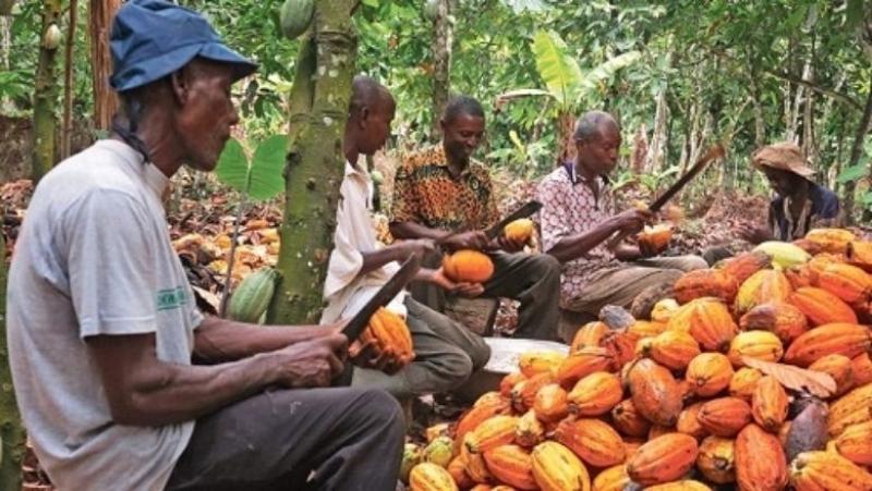 Côte d'Ivoire : des déchets ménagers changent un sol aride en cacaoyère